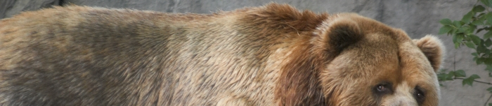 Kodiak_bear_header